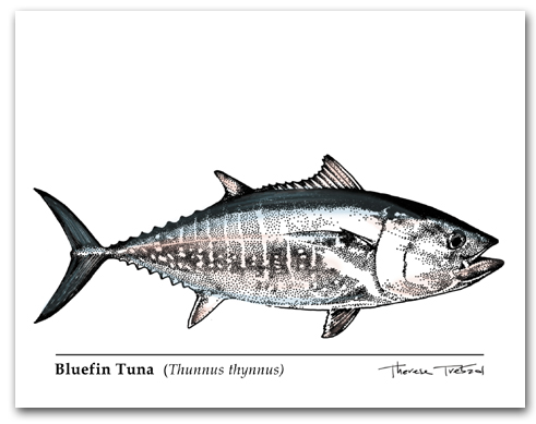 Bluefin Tuna Thunnus thynnus Larger