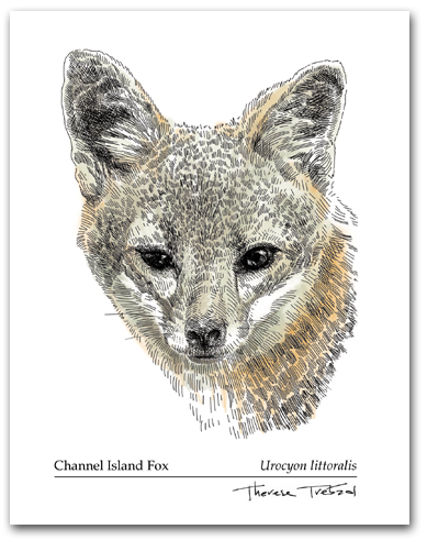 Channel Island Fox Head California Urocyon littoralis Color Larger