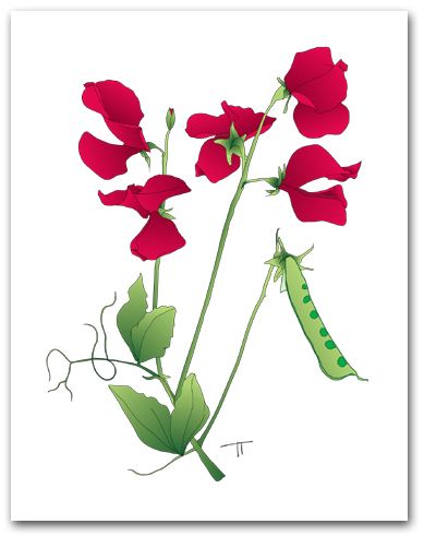 Multiple Red Sweet Peas and Pea Pod Larger