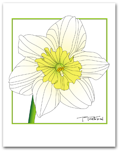 Single Daffodil Flower White Petals Yellow Center Square Outline Larger