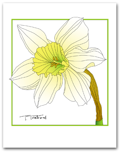 Single Daffodil White Petals Yellow Center Square Outline Larger