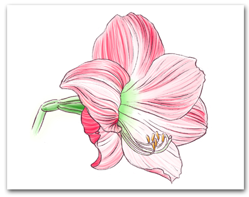 Single Pink Striped Amaryllis Larger