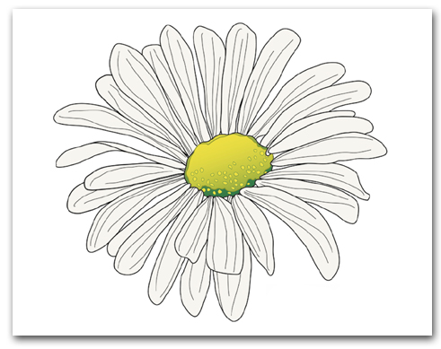 Single White Shasta Daisy Marguerite Yellow Center Larger