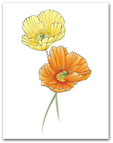 Two Yellow Orange Icelandic Poppies Larger