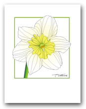 Single Daffodil Flower White Petals Yellow Center Square Outline