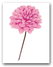 Single Pink Dahlia Brown Stem