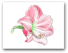Single Pink Striped Amaryllis