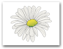 Single White Shasta Daisy Marguerite Yellow Center