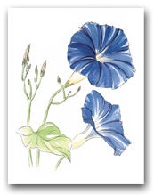 Two Blue Morning Glory Flowers