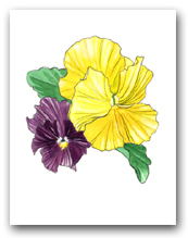 Two Purple and Yellow Pansy