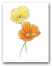 Two Yellow Orange Icelandic Poppies